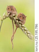 Купить «Harvest mice (Micromys minutus) two on wheat, UK, June, captive.», фото № 25195786, снято 25 мая 2018 г. (c) Nature Picture Library / Фотобанк Лори