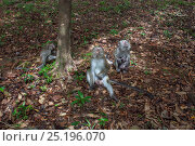Long-tailed macaques (Macaca fascicularis) sitting and foraging on the forest floor - wide angle perspective. Bako National Park, Sarawak, Borneo, Malaysia. Стоковое фото, фотограф Anup Shah / Nature Picture Library / Фотобанк Лори