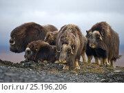 Musk ox (Ovibos moschatus) herd, Wrangel Island, Far Eastern Russia, September. Стоковое фото, фотограф Sergey Gorshkov / Nature Picture Library / Фотобанк Лори