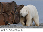 Купить «Polar bear (Ursus maritimus) walking by discarded metal barrels, Wrangel Island, Far Eastern Russia, September.», фото № 25196246, снято 6 мая 2019 г. (c) Nature Picture Library / Фотобанк Лори
