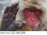 Купить «Japanese macaque (Macaca fuscata) sleeping at hot spring in Jigokudani, Yaenkoen, Nagano, Japan, February.», фото № 25196298, снято 21 января 2019 г. (c) Nature Picture Library / Фотобанк Лори