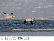Купить «Snow geese (Chen caerulescens caerulescens) Wrangel Island, Far Eastern Russia, May.», фото № 25196362, снято 23 октября 2019 г. (c) Nature Picture Library / Фотобанк Лори