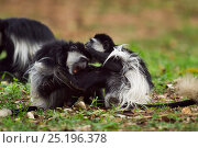 Купить «Eastern Black-and-white Colobus (Colobus guereza) monkeys play fighting. Kakamega Forest National Reserve, Western Province, Kenya», фото № 25196378, снято 14 ноября 2019 г. (c) Nature Picture Library / Фотобанк Лори