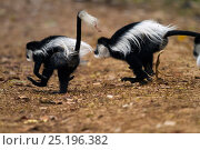 Купить «Eastern Black-and-white Colobus (Colobus guereza) juveniles running on ground. Kakamega Forest National Reserve, Western Province, Kenya», фото № 25196382, снято 21 января 2020 г. (c) Nature Picture Library / Фотобанк Лори