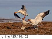 Купить «Snow geese (Chen caerulescens caerulescens) fighting, Wrangel Island, Far Eastern Russia, June.», фото № 25196402, снято 23 марта 2019 г. (c) Nature Picture Library / Фотобанк Лори