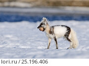 Купить «Arctic fox (Vulpes lagopus) mid moult from winter to summer fur, with egg in mouth, Wrangel Island, Far Eastern Russia, June.», фото № 25196406, снято 19 января 2020 г. (c) Nature Picture Library / Фотобанк Лори