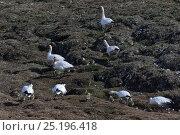 Купить «Snow geese (Chen caerulescens caerulescens) with chicks at nesting site, Wrangel Island, Far Eastern Russia, June.», фото № 25196418, снято 21 ноября 2019 г. (c) Nature Picture Library / Фотобанк Лори