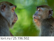 Long-tailed macaques (Macaca fascicularis) interacting.  Bako National Park, Sarawak, Borneo, Malaysia. Стоковое фото, фотограф Anup Shah / Nature Picture Library / Фотобанк Лори