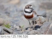 Breeding plumage male Banded dotterel / Double-banded plover (Charadrius bicinctus) amongst river stones. Ngaruroro River, Hawkes Bay, New Zealand, November. Стоковое фото, фотограф Brent Stephenson / Nature Picture Library / Фотобанк Лори