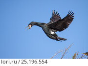 Купить «Adult Great comorant (Phalacrocorax carbo) in breeding plumage coming in to land at its nest in the top of a tree. Waikanae Estuary, Wellington, New Zealand, August.», фото № 25196554, снято 19 августа 2018 г. (c) Nature Picture Library / Фотобанк Лори