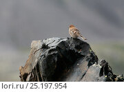Купить «Plain Mountain finch (Leucosticte nemoricola) juvenile on rocks, Altai Mountains, Chuysky Range, Siberia, Russia, August.», фото № 25197954, снято 19 июля 2019 г. (c) Nature Picture Library / Фотобанк Лори
