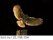 Little Owl (Athene noctua) landing on post, UK, June. Стоковое фото, фотограф Andy Rouse / Nature Picture Library / Фотобанк Лори