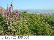 Купить «Dense stand of Common foxgloves (Digitalis purpurea) flowering on a coastal headland, Rhossili, the Gower peninsula, Wales, UK, June.», фото № 25199030, снято 19 июля 2019 г. (c) Nature Picture Library / Фотобанк Лори