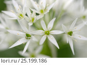 Купить «Wild garlic flowers (Allium ursinum) Vosges, France, May.», фото № 25199186, снято 15 августа 2018 г. (c) Nature Picture Library / Фотобанк Лори