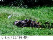 Hippopotamus (Hippopotamus amphibius) in water lettuce, with Cattle egret (Bubulcus ibis) Orango Island, Guinea-Bissau. Стоковое фото, фотограф Enrique Lopez-Tapia / Nature Picture Library / Фотобанк Лори
