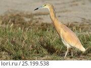 Купить «Squacco heron (Ardeola ralloides) Oman, May», фото № 25199538, снято 16 июня 2019 г. (c) Nature Picture Library / Фотобанк Лори