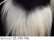 Купить «Eastern Black-and-white Colobus (Colobus guereza) fur on back, close-up. Kakamega Forest National Reserve, Western Province, Kenya», фото № 25199746, снято 21 января 2020 г. (c) Nature Picture Library / Фотобанк Лори