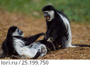 Купить «Eastern Black-and-white Colobus (Colobus guereza) monkeys play fighting. Kakamega Forest National Reserve, Western Province, Kenya», фото № 25199750, снято 14 ноября 2019 г. (c) Nature Picture Library / Фотобанк Лори