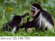 Купить «Eastern Black-and-white Colobus (Colobus guereza) monkeys play fighting. Kakamega Forest National Reserve, Western Province, Kenya», фото № 25199754, снято 14 ноября 2019 г. (c) Nature Picture Library / Фотобанк Лори