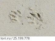 Green monkey (Chlorocebus sabaeus) footprints in sand, Orango Island, Guinea-Bissau, December 2013. Стоковое фото, фотограф Enrique Lopez-Tapia / Nature Picture Library / Фотобанк Лори
