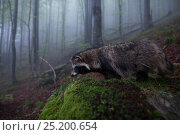 Купить «Raccoon dog (Nyctereutes procyonoides) in habitat, introduced species, Black Forest, Baden-Wurttemberg, Germany. May.», фото № 25200654, снято 16 августа 2018 г. (c) Nature Picture Library / Фотобанк Лори