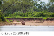 Купить «Hippopotamus (Hippopotamus amphibius) mother standing between her newborn baby and a Nile crocodile (Crocodylus niloticus) on a riverbank, South Luangwa National Park, Zambia. January.», фото № 25200918, снято 22 августа 2018 г. (c) Nature Picture Library / Фотобанк Лори