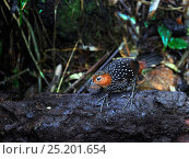 Купить «Ocellated Tapaculo (Acropternis orthonyx) at Paz de la Aves, Mindo, Ecuador.», фото № 25201654, снято 22 мая 2019 г. (c) Nature Picture Library / Фотобанк Лори