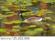 Купить «Canada Goose (Branta canadensis) swimming among water lilies, North Greenwich, England, UK, July.», фото № 25202066, снято 7 декабря 2019 г. (c) Nature Picture Library / Фотобанк Лори