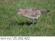 Eurasian Curlew (Numenius arquata) Texel, the Netherlands, April. Стоковое фото, фотограф Bernard Castelein / Nature Picture Library / Фотобанк Лори