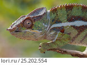 Купить «Panther chameleon (Furcifer pardalis), Ramena, Madagascar», фото № 25202554, снято 17 июля 2019 г. (c) Nature Picture Library / Фотобанк Лори