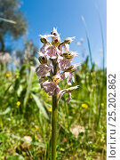 Купить «Milky Orchid (Orchis lactea / Neotinea lactea) an early-flowering species of limestone areas, Uccellini Hills, Tuscany, Italy. April.», фото № 25202862, снято 20 апреля 2018 г. (c) Nature Picture Library / Фотобанк Лори