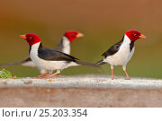 Купить «Yellow-billed Cardinal (Paroaria capitata) group of three, Pantanal, Brazil», фото № 25203354, снято 20 июля 2018 г. (c) Nature Picture Library / Фотобанк Лори