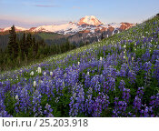 Купить «Fields of Lupins (Lupinus) in flower in spring, with a view of Mount Baker. View from Skyline Divide trail, Cascades. Washington, USA, August 2013.», фото № 25203918, снято 19 августа 2018 г. (c) Nature Picture Library / Фотобанк Лори