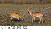 Купить «Pampas deer (Ozotoceros bezoarticus) male female pair, Pantanal, Brazil», фото № 25203922, снято 27 января 2020 г. (c) Nature Picture Library / Фотобанк Лори
