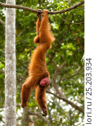 Купить «Peruvian red uakari monkey (Cacajao calvus ucayalii) hanging by feet. Captive - Pilpintuwasi Animal Orphanage, Peru.», фото № 25203934, снято 16 июля 2018 г. (c) Nature Picture Library / Фотобанк Лори