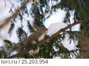 Купить «Japanese squirrel (Sciurus lis) eating snow for water, Mount Yatsugatake, Nagano Prefecture, Japan, February. Endemic species.», фото № 25203954, снято 17 августа 2018 г. (c) Nature Picture Library / Фотобанк Лори