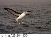 Купить «Gray Headed Albatross (Thalassarche chrysostoma) landing, South Georgia Island, March.», фото № 25204130, снято 20 июня 2019 г. (c) Nature Picture Library / Фотобанк Лори