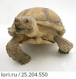 Купить «African Giant Tortoise (Testudo sulcata) portrait, against white background», фото № 25204550, снято 26 марта 2019 г. (c) Nature Picture Library / Фотобанк Лори