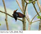 Купить «Montezuma Oropendola (Psarocolius montezuma) displaying in Cecropia tree, Costa Rica.», фото № 25204762, снято 17 июля 2019 г. (c) Nature Picture Library / Фотобанк Лори