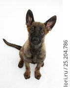 Купить «Malinois x Alsatian puppy, 14 weeks, sitting and looking up, against white background», фото № 25204786, снято 25 апреля 2018 г. (c) Nature Picture Library / Фотобанк Лори