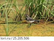 Купить «White wagtail (Motacilla alba) juvenile on mud at edge of marsh near Tiszaalpar, Hungary, June.», фото № 25205506, снято 22 мая 2019 г. (c) Nature Picture Library / Фотобанк Лори