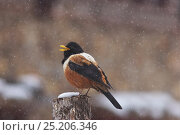 Купить «Kessler's Thrush (Turdus kessleri) singing in snow, Pamuling Mountain, Sichuan Province, China, April.», фото № 25206346, снято 22 мая 2019 г. (c) Nature Picture Library / Фотобанк Лори