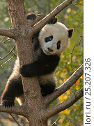 Giant Panda (Ailuropoda melanoleuca) cub climbing tree. Chengdu, China... Стоковое фото, фотограф Andy Rouse / Nature Picture Library / Фотобанк Лори