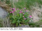 Купить «Red Campion (Silene dioica) in flower, Shetland Islands, Scotland, UK, May.», фото № 25207986, снято 19 февраля 2019 г. (c) Nature Picture Library / Фотобанк Лори