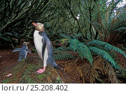 Купить «Yellow-eyed Penguin (Megadyptes antipodes) nesting in dense Dracophyllum forest. Northwest Bay, Campbell Island, New Zealand.», фото № 25208402, снято 22 февраля 2019 г. (c) Nature Picture Library / Фотобанк Лори