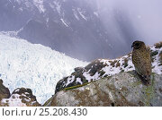 Купить «Kea (Nestor notabilis) in snowy winter alpine habitat above treeline, Fox Glacier, Westland National Park, South Island, New Zealand.», фото № 25208430, снято 17 июля 2019 г. (c) Nature Picture Library / Фотобанк Лори