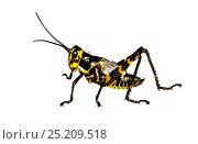 Купить «Soldier Grasshopper nymph (Chromacris speciosa) Gamboa, Panama. Meetyourneighbours.net project», фото № 25209518, снято 19 февраля 2019 г. (c) Nature Picture Library / Фотобанк Лори