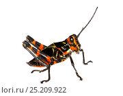 Купить «Soldier Grasshopper nymph (Chromacris speciosa) Gamboa, Panama. Meetyourneighbours.net project», фото № 25209922, снято 19 февраля 2019 г. (c) Nature Picture Library / Фотобанк Лори