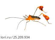Купить «Passion fruit vine bug (Anisoscelis flavolineata) Gamboa, Panama. Meetyourneighbours.net project», фото № 25209934, снято 19 февраля 2019 г. (c) Nature Picture Library / Фотобанк Лори