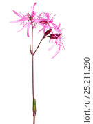 Купить «Ragged Robin (Silene flos-cuculi) in flower, Slovenia, Europe, June Meetyourneighbours.net project», фото № 25211290, снято 21 июля 2018 г. (c) Nature Picture Library / Фотобанк Лори